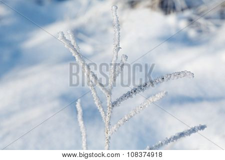 Branch Of The Plant In The Frost On The Background Of The Snow Drifts