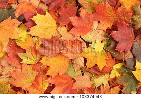 Autumn leaves background - dried  yellow, green, orange and red maple leaves