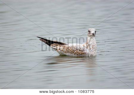 Seagull (Laridea)