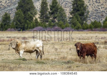 Two Bulls In The Field.