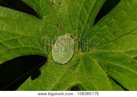 Green Shield Bug Sitting On A Leaf