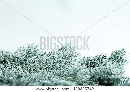 branch of Christmas tree with snow
