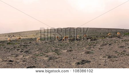 Herd Of Vicunas In South America