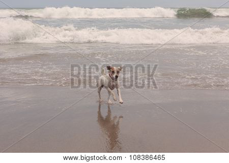Jack Russell Terrier Cute Dog