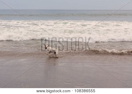 Parson Russell Terrier Jumping On The Waves