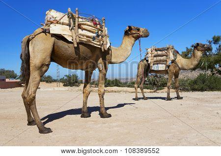 Camels in Sahara Desert, Africa