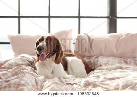 Dog lying in bed at morning