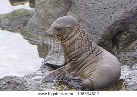 Baby Sea Lion On The Rocks