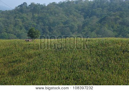 View Of The Cornfield In Thailand