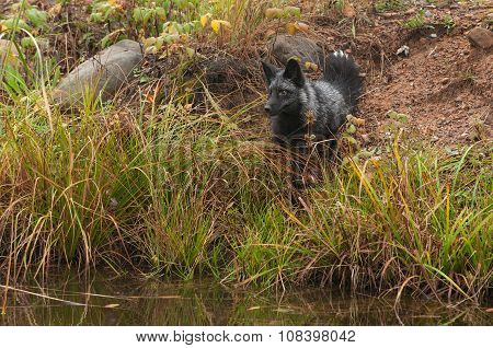 Silver Fox (vulpes Vulpes) Sits On Shoreline