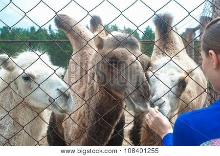 Young attractive woman feeding camels