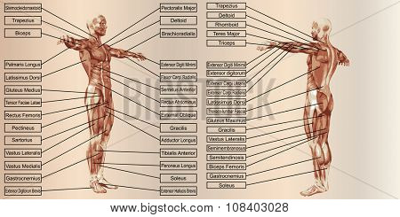 Conceptconcept or conceptual 3D human man anatomy and muscle for sport and text on beige vintage backgroundor conceptual 3D human man anatomy and muscle for sport and text on beige vintage background