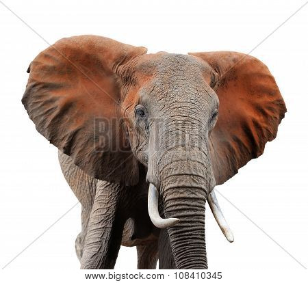 Old African Elephant