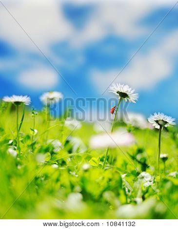 Beautiful daisy field