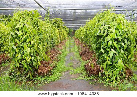 Vanilla plantation on Reunion Island. Agriculture in tropical climate.