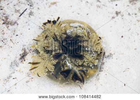 Jellyfish Swimming In The Shallow Water