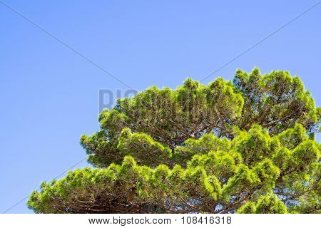 Green Krone Of A Pine