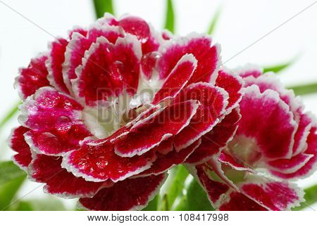 Morning Dew On Carnation