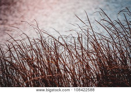 Sedge On The Lake