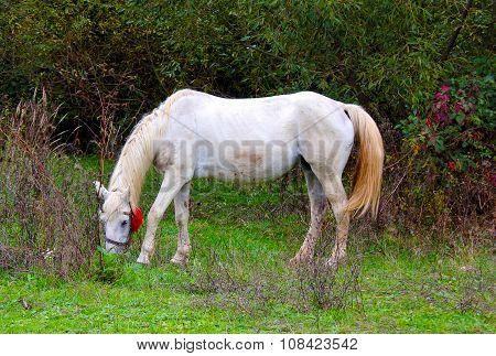 Amazing White Lipizzaner Stallion Prancing In Spring