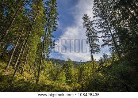 Summer Landscape Pine Forest In The Carpathians