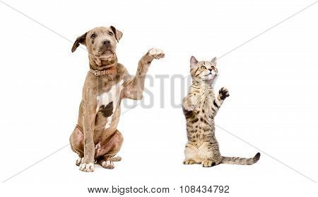 Playful puppy pitbull and a kitten