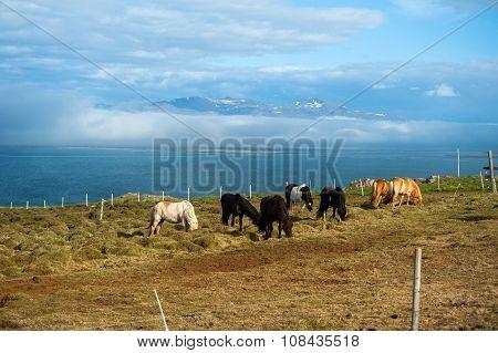 Horses In Vatnsnes Peninsula, Iceland
