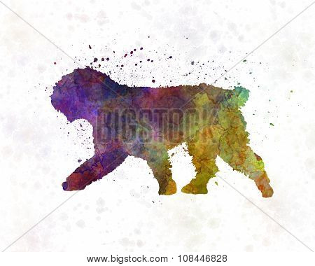 Spanish Water Dog In Watercolor