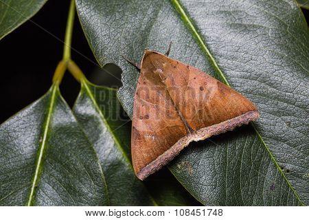 Artena dotata moth on green leaf