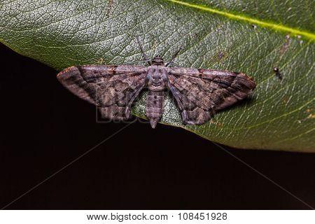 Hypochrosis binexata moth