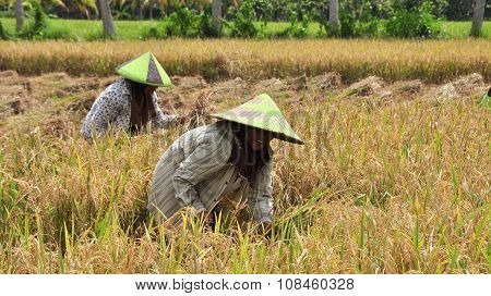 Rice Is Winnowed In Bali