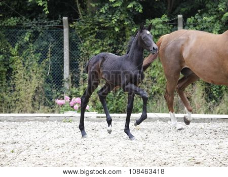 Foal Raises Forequarters