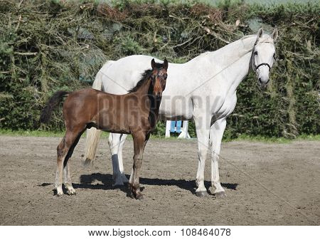Brown Foal With Mare