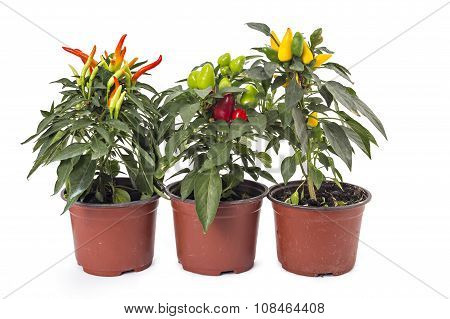 Young and growing chili peppers