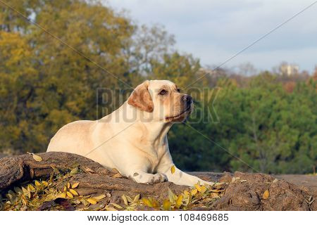 The Nice Yellow Labrador In The Park In Autumn