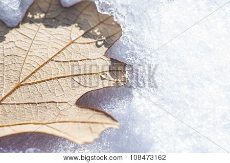 Snowy Oak Leaf
