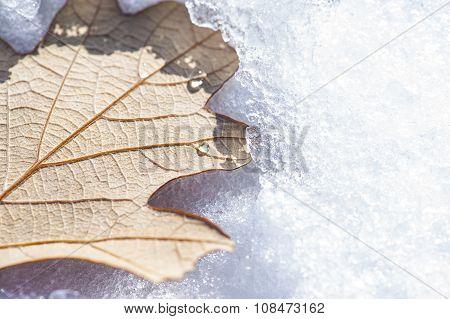 Snowy Oak Leaf