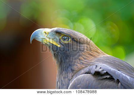 Golden Eagle Face, Canada