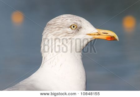 Seagull Bird Close Up