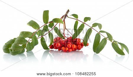 Ash-berry With Leaves Isolated On White Background