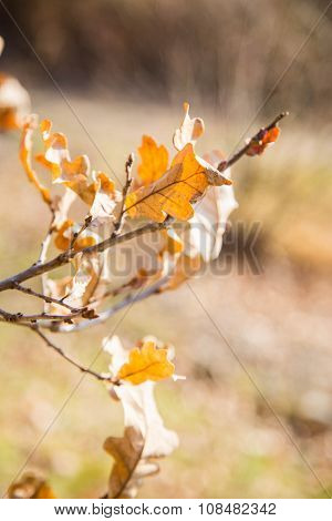 Branch With Dry Yellow Leaves Of An Oak