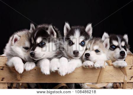 five husky pups