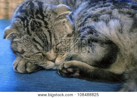 Scottish Fold Cat Sweetly Sleeps, His Head Resting On The Foot