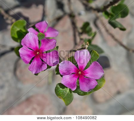 pink flowers catharanthus