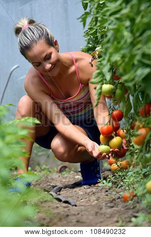 young woman picking fresh tomatoes in summer garden