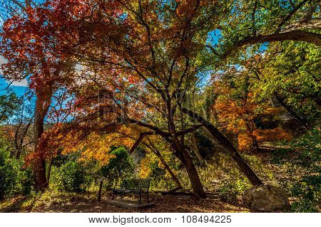 Bright Fall Foliage at Lost Maples State Park, Texas