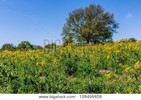 Cut Leaf Groundsel (packera Tampicana) Bright Yellow Texas Wildflowers