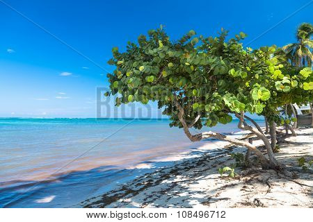 Healthy Sea Grape Tree In The Tropical Beach
