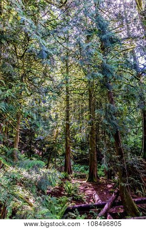 Primeval Rain Forest with Mystical Cedar Trees
