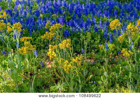 A Beautiful Field Full of Yellow and Blue Texas Wildflowers